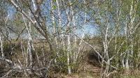 Карагачский ольхово-березовый лес