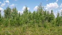 Лес Сибай. Июнь 2021 года